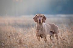 De Hongaarse hond van hondenvizsla op gebied stock afbeelding