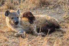 De hongerige consumptiemelk van hyenajongen van moeder zoogt Stock Foto