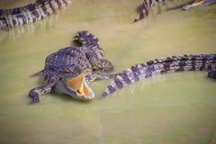 De hongerige krokodil is open mond en het wachten op voedsel in het ras royalty-vrije stock afbeeldingen