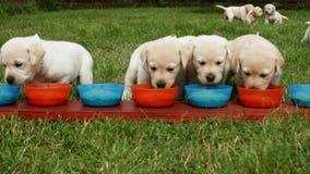De hongerige puppy die van Labrador aan de het voeden kommen lopen stock footage