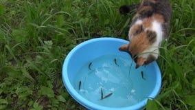 De hongerige vangst van de gestreepte katkat en eet vissen van blauwe plastic kom stock video