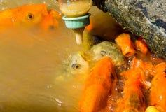 De hongerige vis eet voedsel van fles heel wat vissen in de vijver Meisjes voedende vissen Royalty-vrije Stock Foto