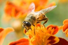 De honing, trekt `t vergeet aan bloemen Stock Afbeeldingen