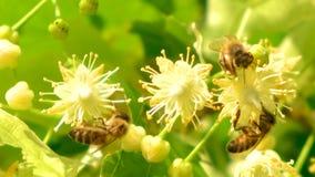 De honingbij, apismelifera, het bestuiven bloeiende boombloesems, sluit omhoog
