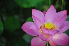 De honingbij die nectar-rode lotusbloembloem verzamelen is schitterend Royalty-vrije Stock Afbeeldingen