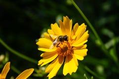 De honingbij die stuifmeelbinnenkant verzamelen bloeide gele bloem in garde royalty-vrije stock afbeelding