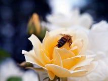 De honingbij op geel nam toe stock fotografie