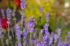 De honingbij van de lavendelbloem Royalty-vrije Stock Afbeeldingen