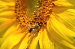 De honingbij verzamelt nectar op de bloemen van een zonnebloem Royalty-vrije Stock Afbeeldingen