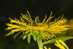 De honingbij verzamelt nectar op gele de bloem macro, selectieve nadruk van Telekia Speciosa, ondiepe DOF Stock Afbeelding