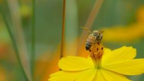 De honingbij verzamelt nectar van kosmosbloem stock footage