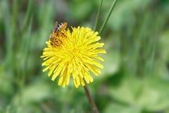 De honingbij verzamelt stuifmeel op een paardebloembloem stock afbeeldingen