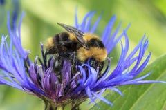 De honingbij verzamelt stuifmeel op de korenbloem van Montana royalty-vrije stock foto