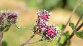 De honingbij verzamelt stuifmeel voor honing op een purper-rode bloem stock footage