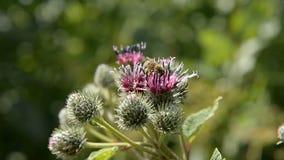 De honingbij verzamelt stuifmeel voor honing op een purper-rode bloem stock videobeelden