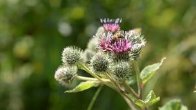 De honingbij verzamelt stuifmeel voor honing op een purper-rode bloem stock video