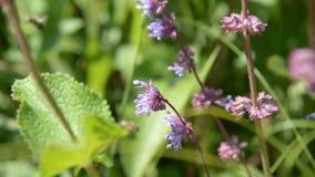 De honingbij vliegt en verzamelt stuifmeel voor honing op een violet-rode bloem stock video