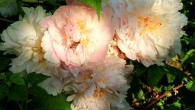De honingbijen bestuiven mooie bloemen stock videobeelden