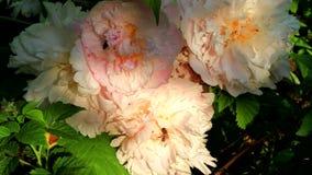 De honingbijen bestuiven mooie bloemen stock video