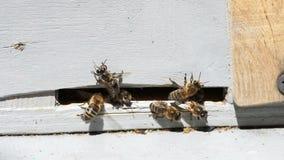 De honingbijen gaan binnen en gaan weg stock footage