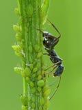 De Honingdauw van zwarte Ant Harvests Aphid Royalty-vrije Stock Foto