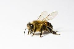 De honingsbij van de arbeider (apis) met stuifmeel, Royalty-vrije Stock Afbeeldingen