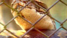 De hoofd de boaslang of python die en gezet zich op tong bewegen zijn boos en gevaarlijk stock footage