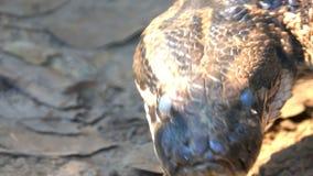 De hoofd de boaslang of python die en gezet zich op tong bewegen zijn boos en gevaarlijk stock videobeelden