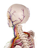 De hoofdanatomie Stock Afbeeldingen