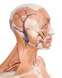 De hoofdanatomie vector illustratie