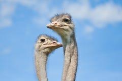 De hoofden van de struisvogel Stock Foto's