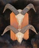 De hoofden van het de schapenskelet van rammen op de huid van het beerbont Stock Foto