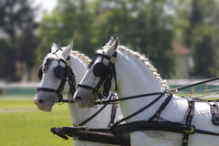 De hoofden van het paard Stock Afbeeldingen