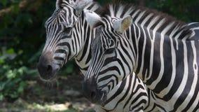 De hoofden van de zebra sluiten omhoog terwijl het ontspannen in een dierentuin Sluiten de strepen Gestreepte hoofden omhoog gesc stock video