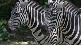 De hoofden van de zebra sluiten omhoog terwijl het ontspannen in een dierentuin Sluiten de strepen Gestreepte hoofden omhoog gesc stock videobeelden
