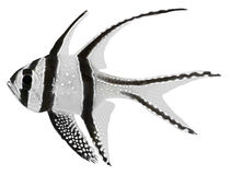 De HoofdVissen van Banggai (kauderni Pterapogon) Royalty-vrije Stock Foto's