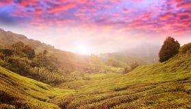 De hooglanden van de aanplantingsCameron van de thee, Maleisië stock afbeeldingen