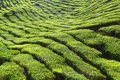 De hooglanden van de aanplantingsCameron van de thee, Maleisië Royalty-vrije Stock Afbeeldingen