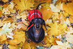 De hoogste mening over zoet portret van de Tekkelras, zwarte en tan van de blik weg hond, in een rode en zwarte slijtagesweater z royalty-vrije stock foto
