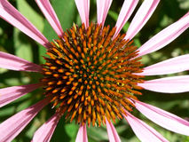 De hoogste mening van Echinacea Stock Foto