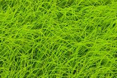 De Hoogste Mening van het Gras van de rijst Royalty-vrije Stock Afbeeldingen
