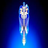 De Hoogste Mening van het paardskelet - de Anatomie van Paardequus - over blauwe backgrou stock illustratie