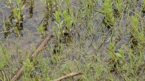 De hoogste mening van kikkervisjes riep ook een pollywog Larvaal stadium in de het levenscyclus van een amfibie, in het bijzonder stock video