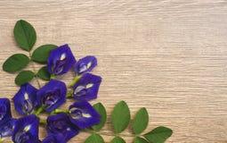 De hoogste mening van mooie blauwe die Vlindererwt, als klokjewijnstok of Aziatische duifvleugels wordt bekend, verfraait op een  stock afbeelding