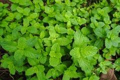 De hoogste meningsvlakte legt van geweven longifolia groene bladeren van Muntmentha stock foto