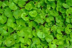 De hoogste meningsvlakte legt van Gotu-geweven kolaCentella asiatica groene bladeren stock afbeeldingen