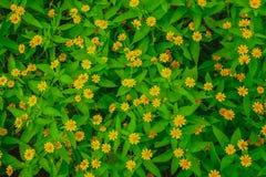 De hoogste meningsvlakte legt van weinig gele madeliefjebloem Singapore dailsy en groene geweven bladeren royalty-vrije stock fotografie