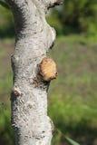 De hoogte van de behandelingstuin van de wond op de boom stock afbeeldingen