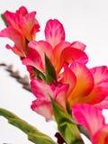 De hoogte van de zomer, de zomerbloemen vulde de gehele ruimte met hun helder gekleurde kleuren De gladiolen als kaars wierpen ui Stock Afbeelding