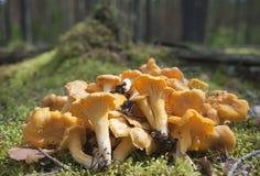 De hoop van cantharellen op een mos. Stock Foto